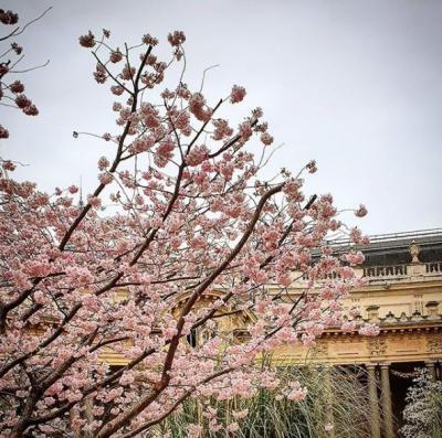 パリで桜を楽しむ 公園めぐり