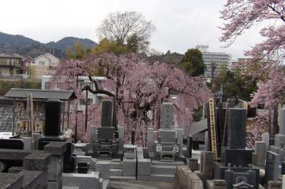 墓地の枝垂れ桜と桜
