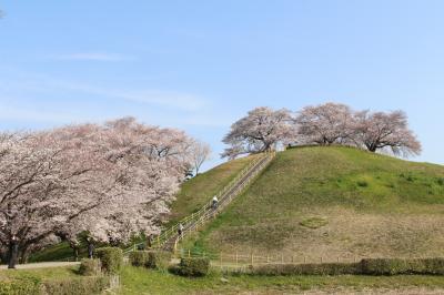 すばらしきかな、さきたま古墳の桜