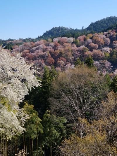 今年の花見は吉野山で その2 一目千本に感動しまくり!