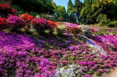大野町の八重桜と芝桜