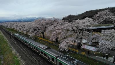 2019年も桜が見たくて本州に上陸・やっと最後の最後に桜に出会う事が出来ました♪