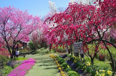 [19魚津市・天神山ガーデンの「花桃」