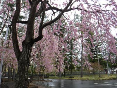 身曾岐神社で枝垂桜に出会う
