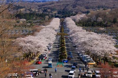 桜紀行 平和公園と富士霊園の桜