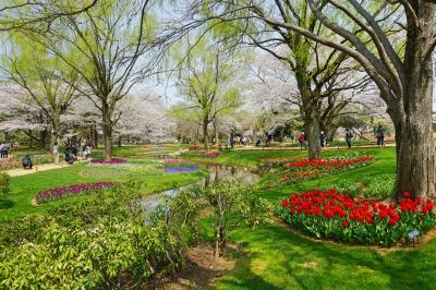 昭和記念公園 満開の桜と本場オランダがモデルのチューリップ・ガーデン