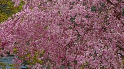 勝尾寺参拝との枝垂れ桜の花見 その3。