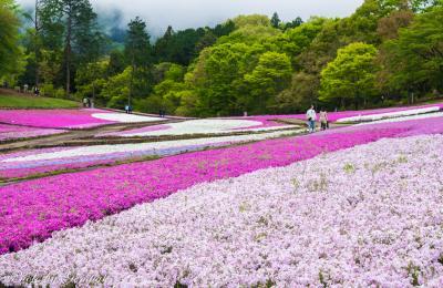 羊山公園の芝桜と美の山公園のツツジ