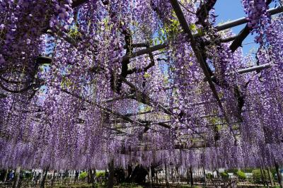 玉敷神社の大藤を観に行く