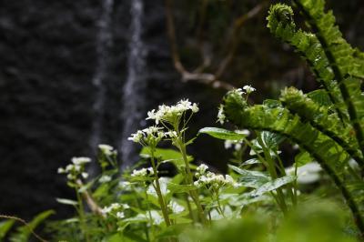 樹齢約1200年の神代桜&天然野ワサビ採り