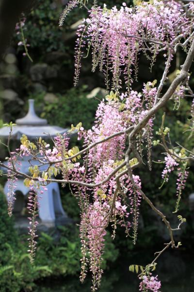 子安地蔵寺の藤 関西花の寺の札所です。見頃でした。