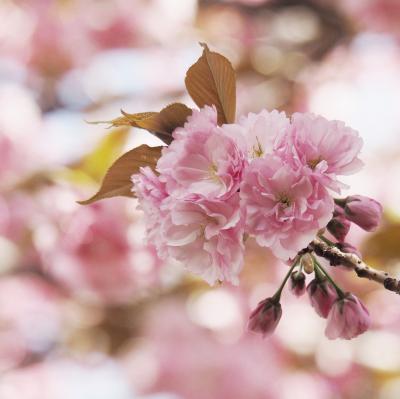 Japan コミュニティー・ウォーキング シリーズ(20)  小平グリーンロード サイクリングロードから千川上水へ ~ミツバチばあやの冒険~