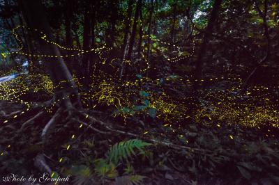 40年ぶりに沖縄へ (4)夜の西表島 ~森に瞬き消えゆく八重山姫蛍の儚い光&満天の星空~