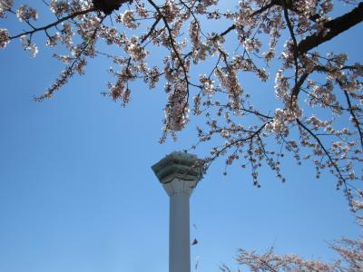 函館の満開の桜