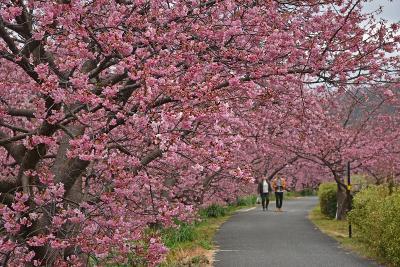 河津桜を楽しむ伊豆ドライブ(2)2日目ー南伊豆・下田・稲取ー