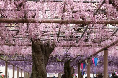 花房揺れる紫のカーテン♪ 江南藤まつり&花の松平と緑化センター♪