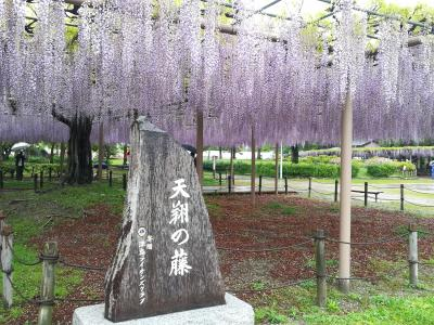滋賀・日野ダリア園のボタン、愛知・天王川公園の藤棚めぐり