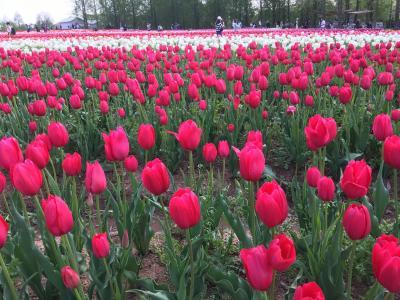 広島☆世羅高原農場のチューリップ