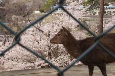 動物園で桜を見てきたお話 桐生が岡動物園2019年(2)