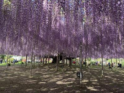 令和の風を感じて ツツジ咲く舘林・足利の藤の里を訪ねて。