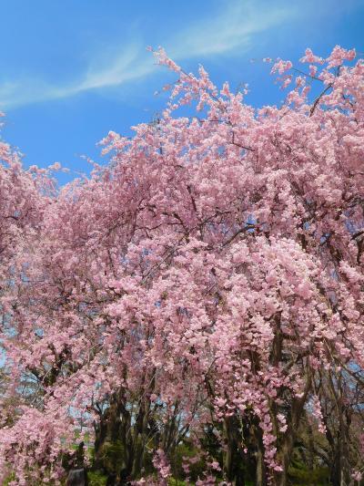 風にそよぐ北上展勝地のしだれ桜(平成最後の東北旅③)