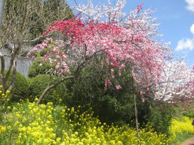 春旅・みちのく花の旅 白石~三春~磐梯山