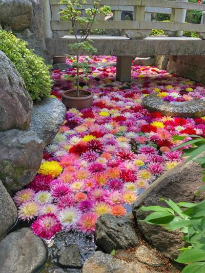 天竺牡丹が美しく彩る明日香・花の寺『岡寺』へ