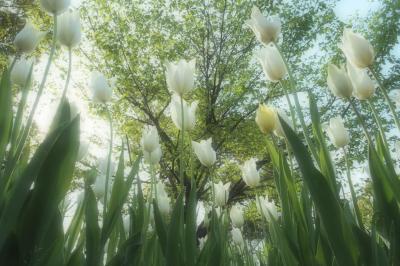 冬から春へ☆光を纏った花たちの詩(2019ver.)☆#1 ウィンターチューリップ/梅/ひな祭りの花々/チューリップ