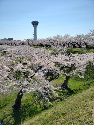 函館 桜を見る旅