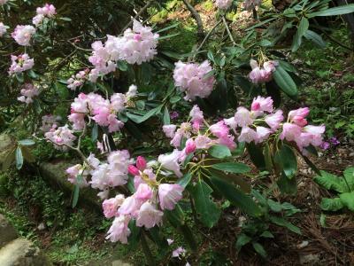 新緑と石楠花の室生寺参拝