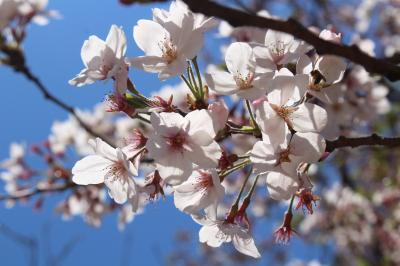 新宿御苑で一人お花見