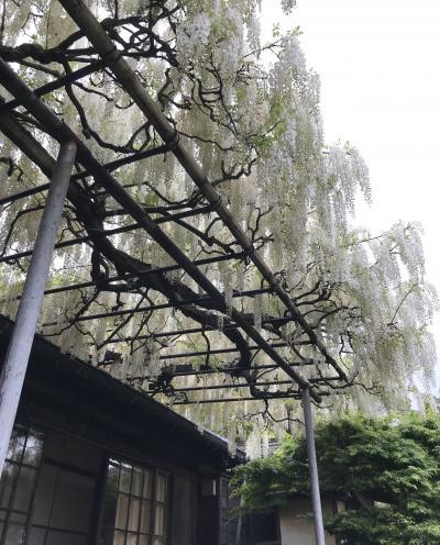 白藤が見頃の鎌倉 英勝寺…
