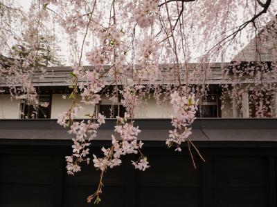 初のボンバルディア機で角館の桜を見に行くの記