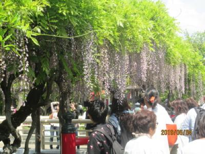 東京の亀戸・亀戸天神社・藤の花散る