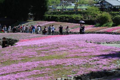 「花のじゅうたん」 三田市永沢寺の芝桜