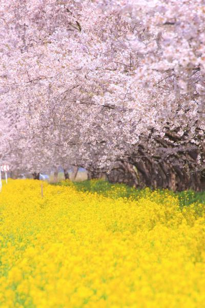 秋田 桜めぐり~角館武家屋敷、桧内川桜堤、菜の花と桜ロード