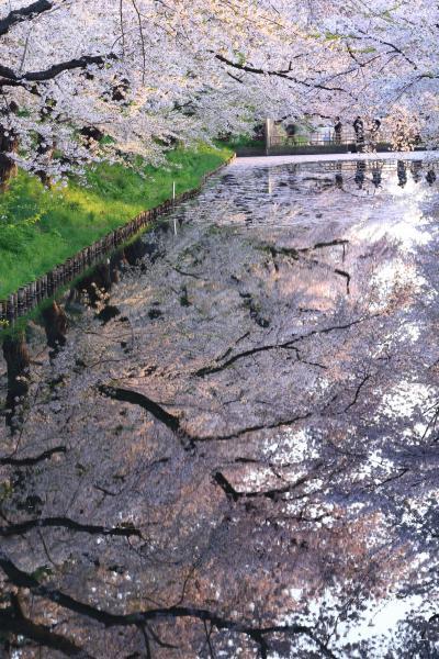 青森 桜めぐり~岩木川河川公園、弘前公園、世界一の桜並木、鶴の舞橋、芦野公園駅
