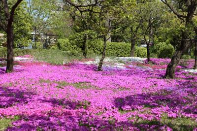春の川口グリーンセンター♪ Vol.9:ひっそりと咲くシャクナゲ・ピンク絨毯の芝桜♪
