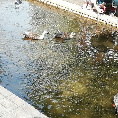 カモの水浴び、散歩コース、隅田親水公園、スカイツリー、