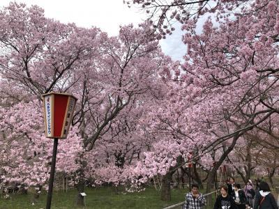 桜満開!信州伊那・高遠城址公園2019春