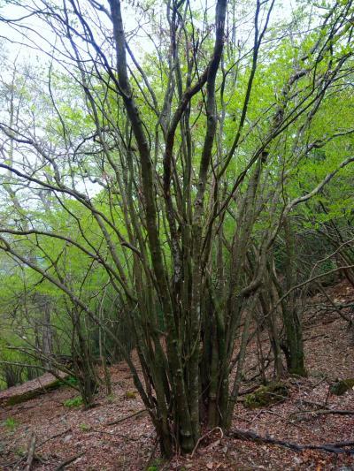 犬ヶ岳☆グリーンシャワーの森から(一座目)