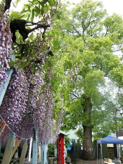 今まで車の中から菖蒲神社にも藤があるのかと思いながら通り過ぎていた菖蒲神社へ。
