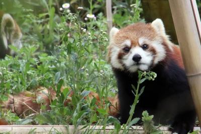 平成最後のレッサーパンダ動物園はGWの埼玉こども動物自然公園(2)午前編:超混雑を凌げたコアラの子供たち詣&日差と新緑の中のレッサーパンダ他