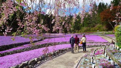 永沢寺の芝桜を見に行きました(01) 永沢寺の芝桜 上巻。