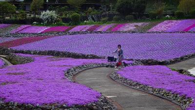永沢寺の芝桜を見に行きました(02) 永沢寺の芝桜 中巻。