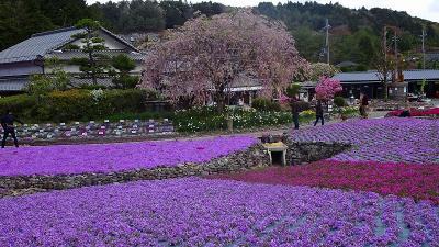 永沢寺の芝桜を見に行きました(03) 永沢寺の芝桜 下巻。