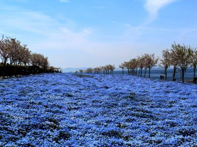 春のお花を楽しんで…京の桜・将軍塚青龍殿&100万株の青い花・大阪まいしまシーサイドパークのネモフィラ祭り@神戸みなと温泉蓮