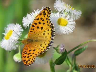 2019年森のさんぽ道で見られた蝶①ツマグロヒョウモン、クロコノマチョウ等