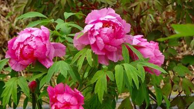 永沢寺の芝桜を見に行きました(07) ぼたん園の見学 下巻。