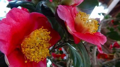 永沢寺の芝桜を見に行きました(08) つばきの展示を見学 上巻。